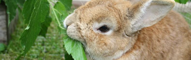 Allevamento del coniglio per produzioni di qualità a gennaio