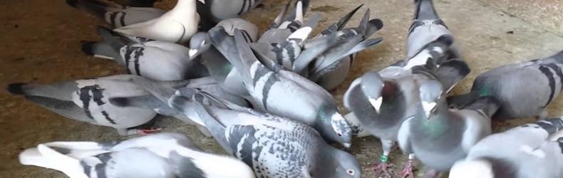 Gestione di un allevamento di colombi a ottobre
