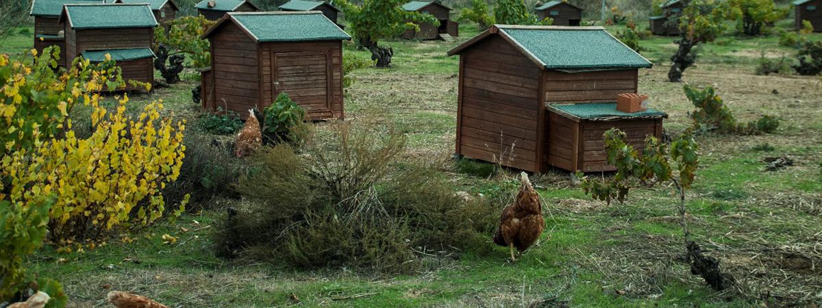 Gestione di un gruppo di galline ovaiole a novembre