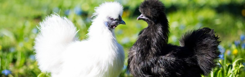Pollo - gestione dei riproduttori a settembre