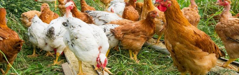 Ambientamento al pascolo del pollame