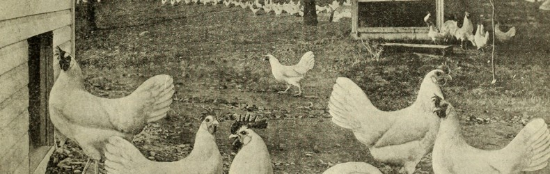 La pollicoltura a Teramo negli anni '50