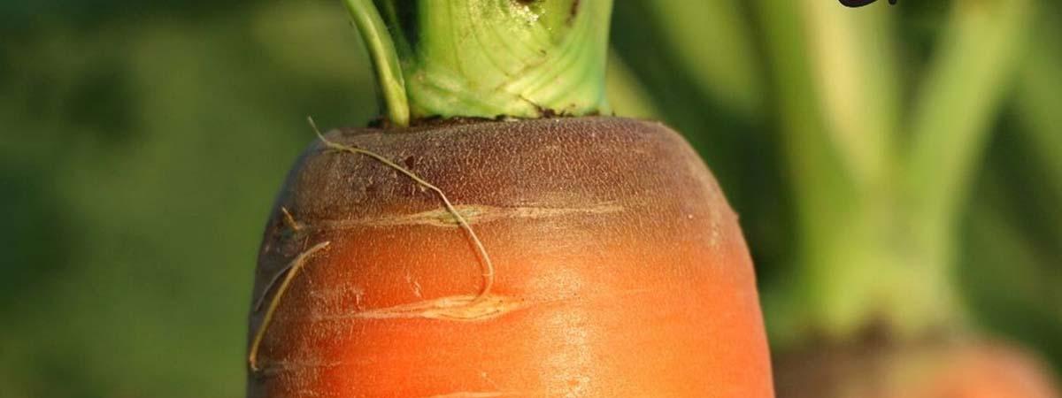 La coltivazione della carota in Sardegna