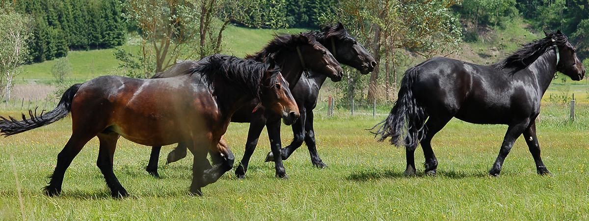 Cavallo Norico