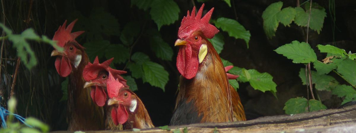 Corso online di avicoltura biologica