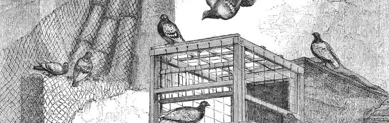 Allevamento del colombo con metodo biologico