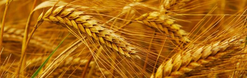 Commercializzazione di sementi di varietà da conservazione