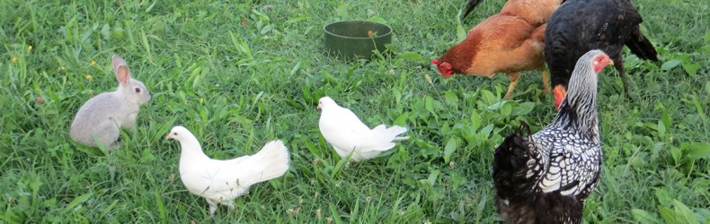 Corretto utilizzo del pascolo da parte del pollame