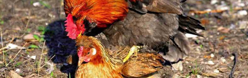Formazione dei gruppi riproduttivi nella specie pollo
