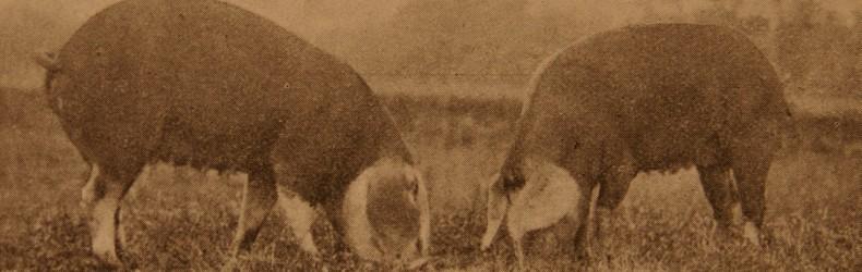 La suinicoltura piemontese agli inizi del secolo scorso