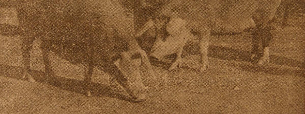 La razza Cappuccia in Toscana agli inizi del secolo scorso