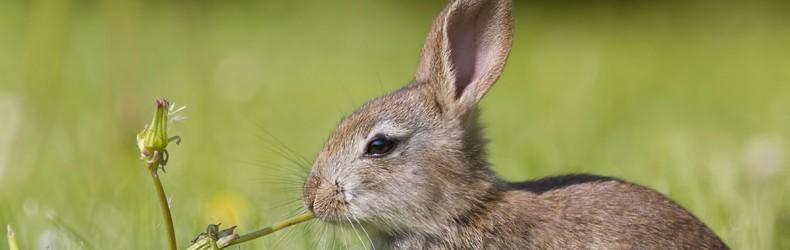 Coniglio di montagna: alimentazione estiva femmine in allattamento