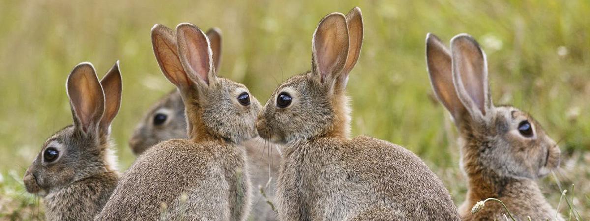 Coniglio di montagna: alimentazione invernale capi all'ingrasso