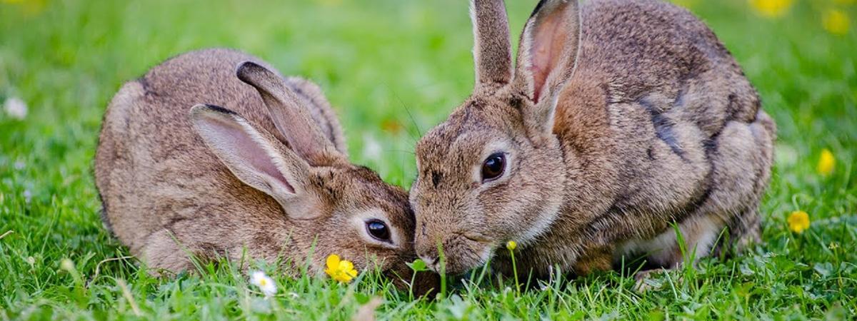 Metodo piemontese per l'allevamento del coniglio in montagna