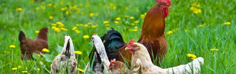 Razione alimentare per galline utilizzando solo materie prime
