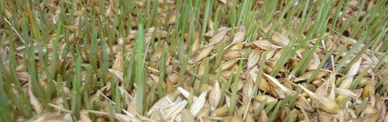Semi germinati