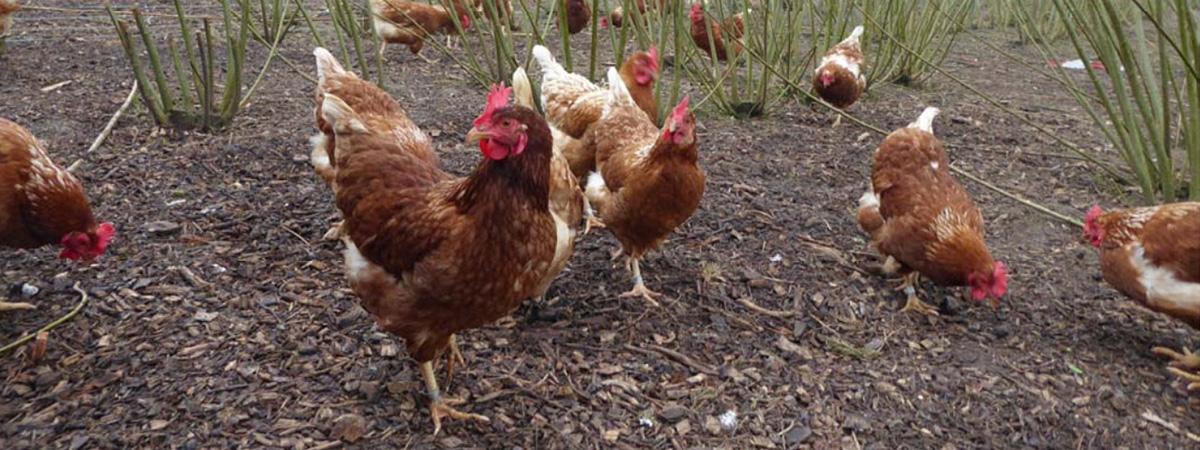 Webinar Allevamento di polli e galline al pascolo