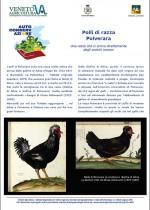 Polli di razza Polverara