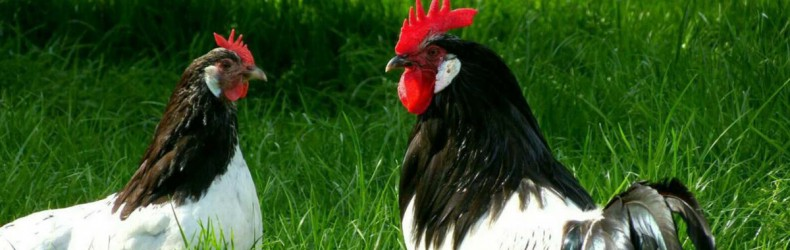 La coccidiosi nelle galline