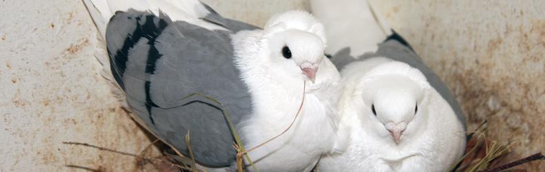 Come controllare il benessere dei colombi