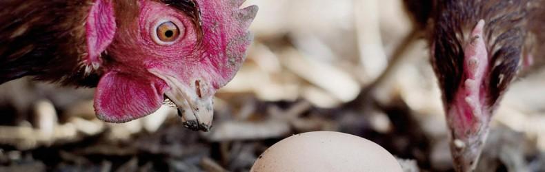 Come raccogliere uova integre