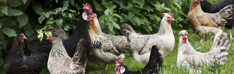 Coronavirus e pollame