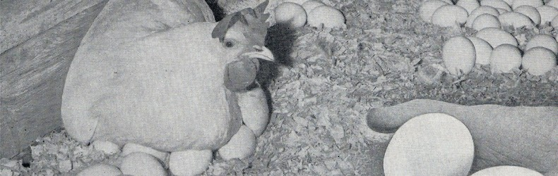 Ovaiole Hy-Line 1960