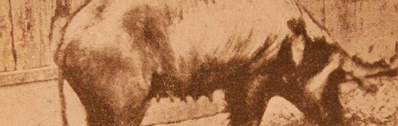 La suinicoltura nel Veneto, in Friuli, nella Venezia Giulia e Tridentina agli inizi del secolo scorso