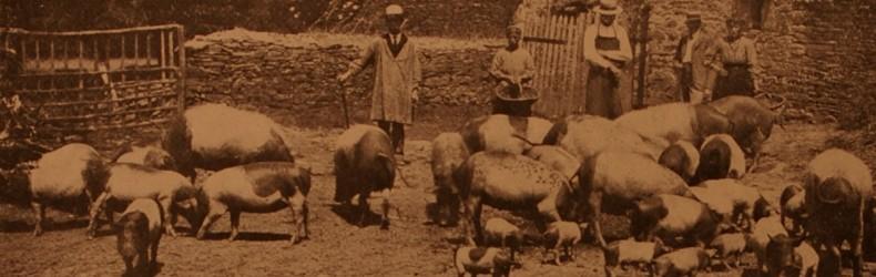 La suinicoltura in Liguria agli inizi del secolo scorso