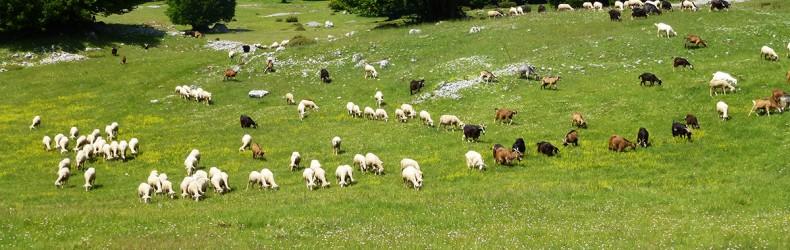 Le pecore nel Neolitico