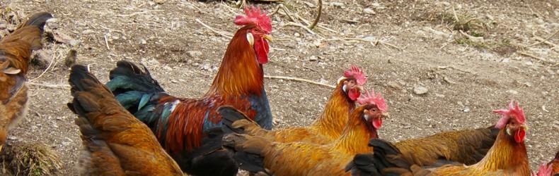 Pollo di razza Trentina