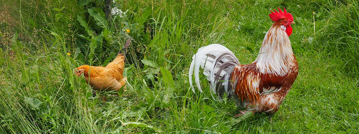 Realizzazione di un prato pascolo per avicoli