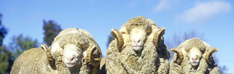 Le pecore Merinos nel Dipartimento del Reno