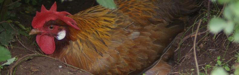 Un nido collettivo per 25 galline